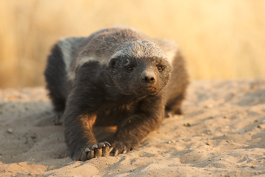 Honey badger | The Life of Animals