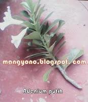 Ke 2 - Cara menyambung tanaman  bunga Adenium