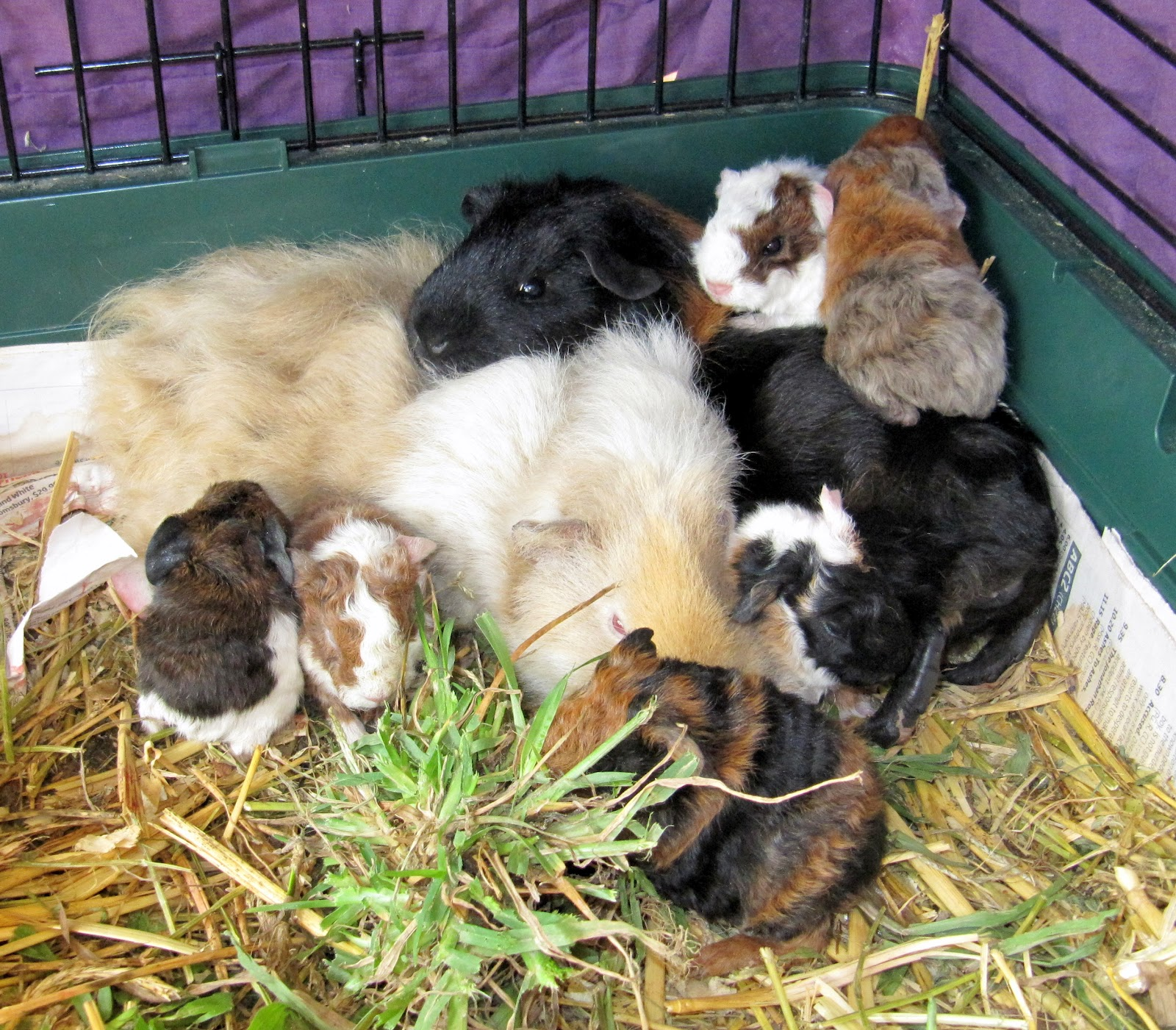 All Things Guinea Pig Genetics