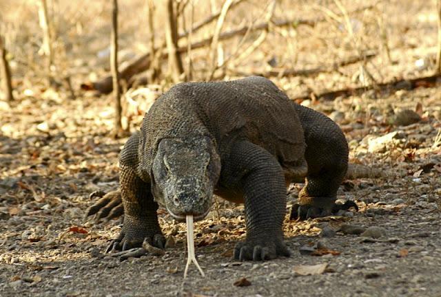 Dragão de Komodo um sobrevivente dos tempos pré-históricos