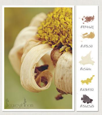 achieving tack sharp images - Beauty in Decay Colour palette | Texture | Chrysanthemum x superbum 'Snowcap' | Leucanthemum | Shasta Daisy Blooms