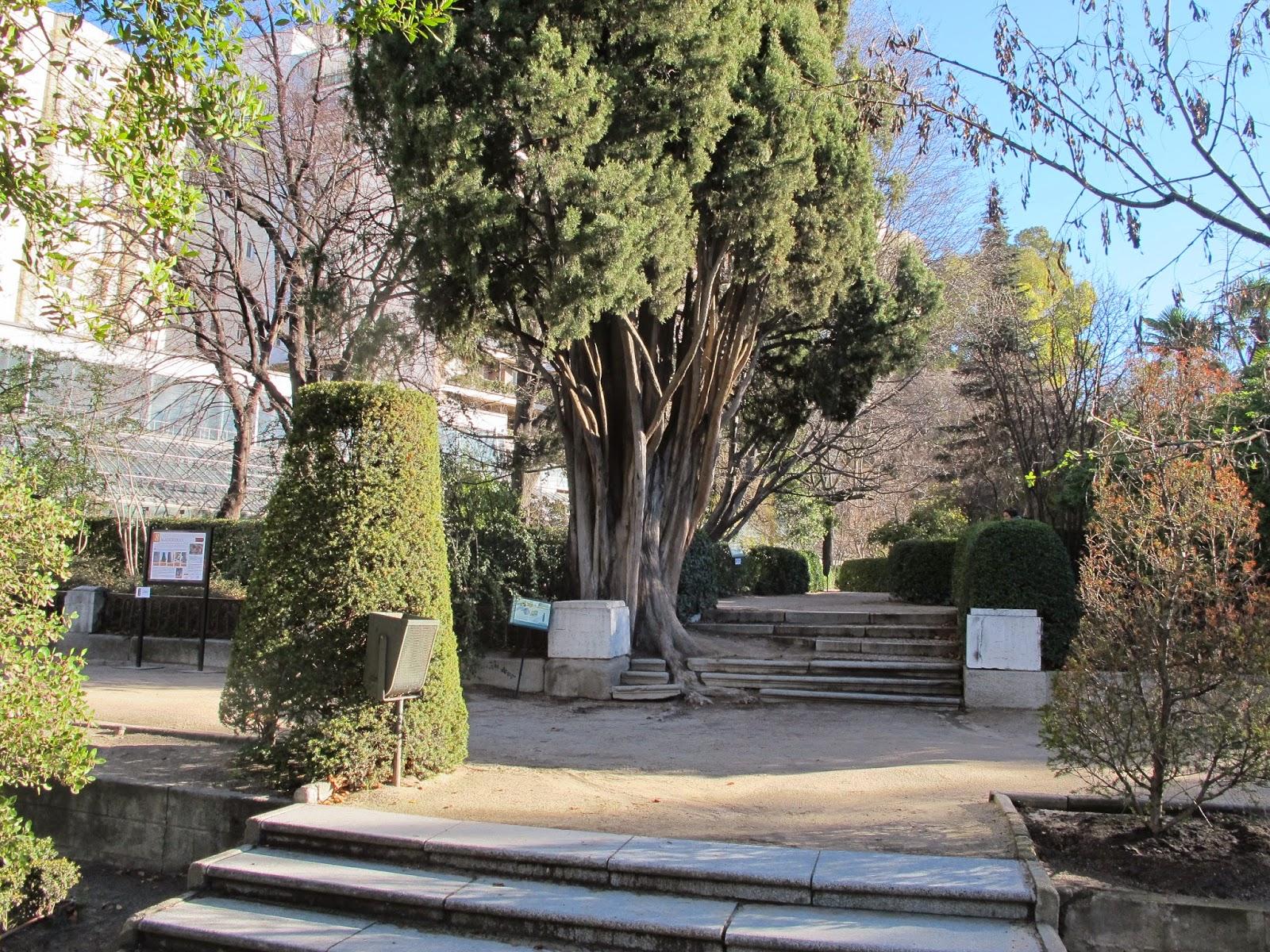Rboles de madrid el gato por las ramas cipr s del real for Arboles del jardin botanico