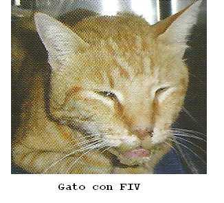 inmunodeficiencia felina tratamiento: