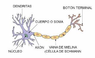 http://estaticos.elmundo.es/elmundosalud/documentos/2006/04/neuronas.swf