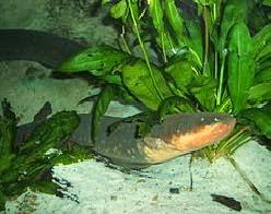 Belut Listrik Sungai Amazon