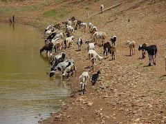 Ovinos consumindo água de barreiro