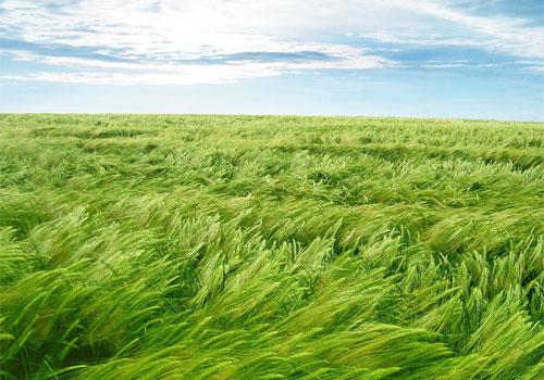 Yeşil otlar ve rüzgar