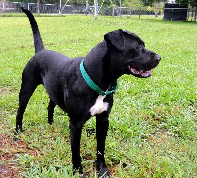 Beautiful Boxerblack Labrador Mix Is Still Looking For A Home