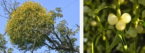 mistletoe dangerous herbs
