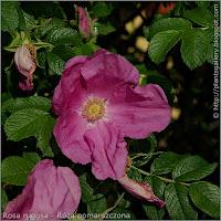 Rosa rugosa flower - Róża pomarszczona kwiat