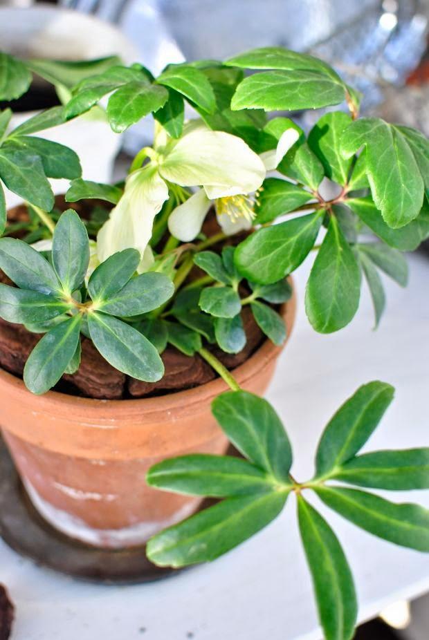julros helleborus niger hannashantverk.blogspot.se