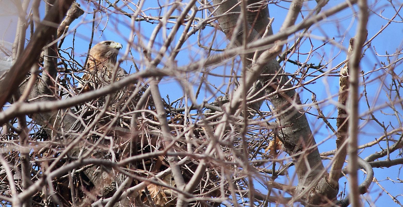 Redtailed hawk  Wikipedia