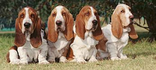 four Basset hound dogs in the garden photo