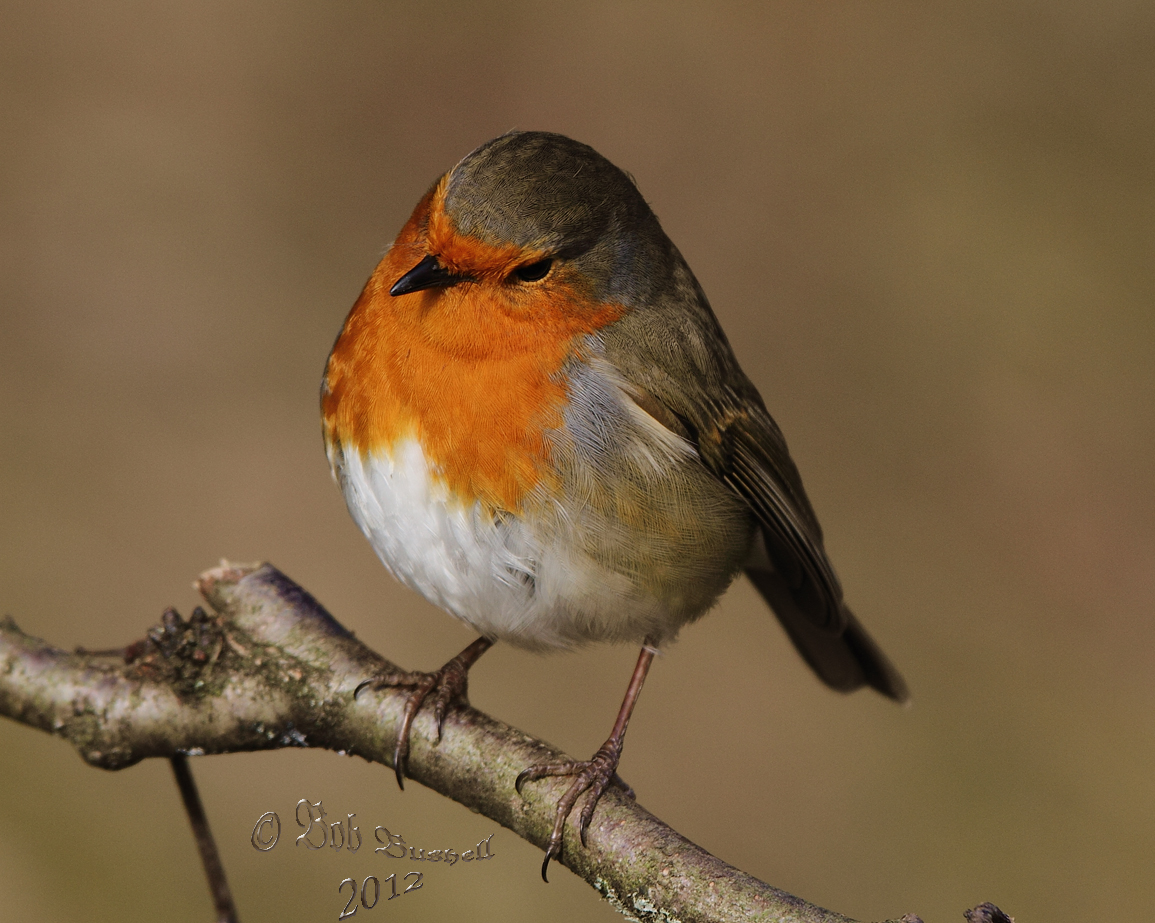 birds and nature in the forest of dean european robin forest of