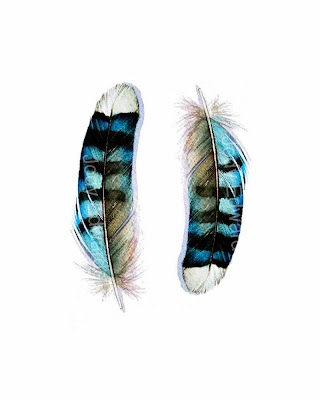 two blue jay feathers print by jodyvanb on etsy