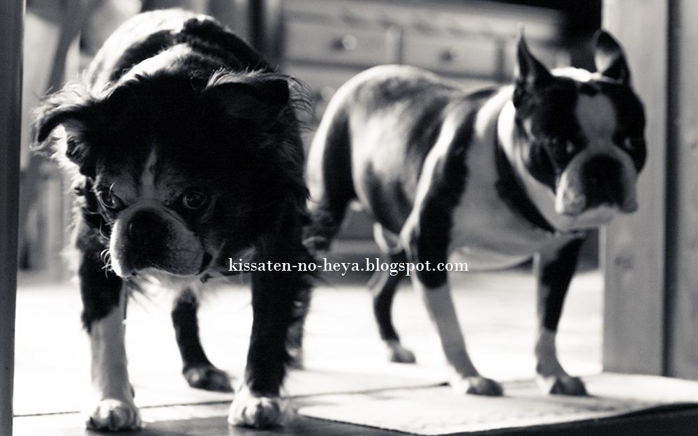 犬達の写真:モノクロ - My family Boston terrier -