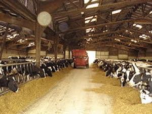 Một kiểu chuồng cho bò sữa. Ảnh minh họa.