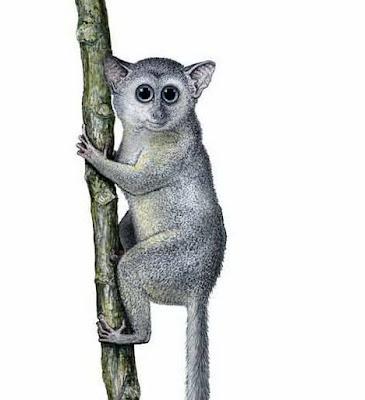 primates extintos Teilhardina