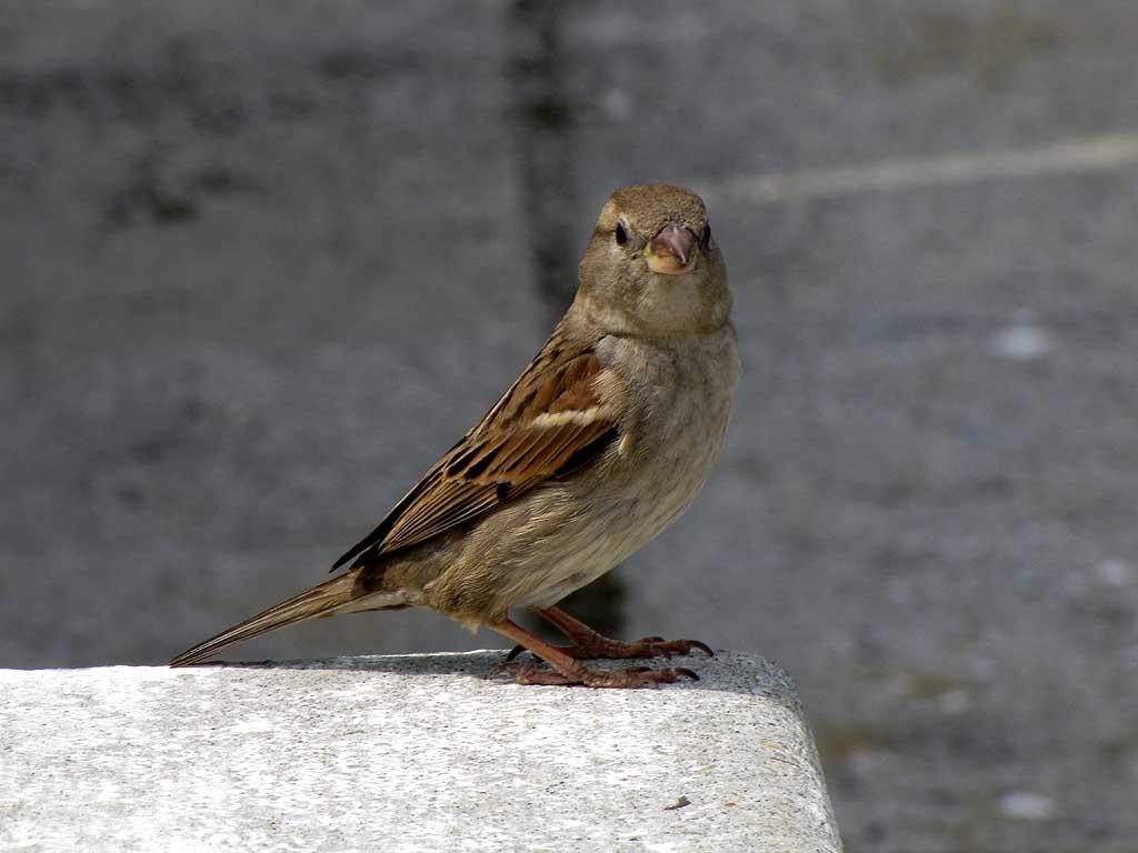 Little sparrow, Porto Mediceo, Livorno