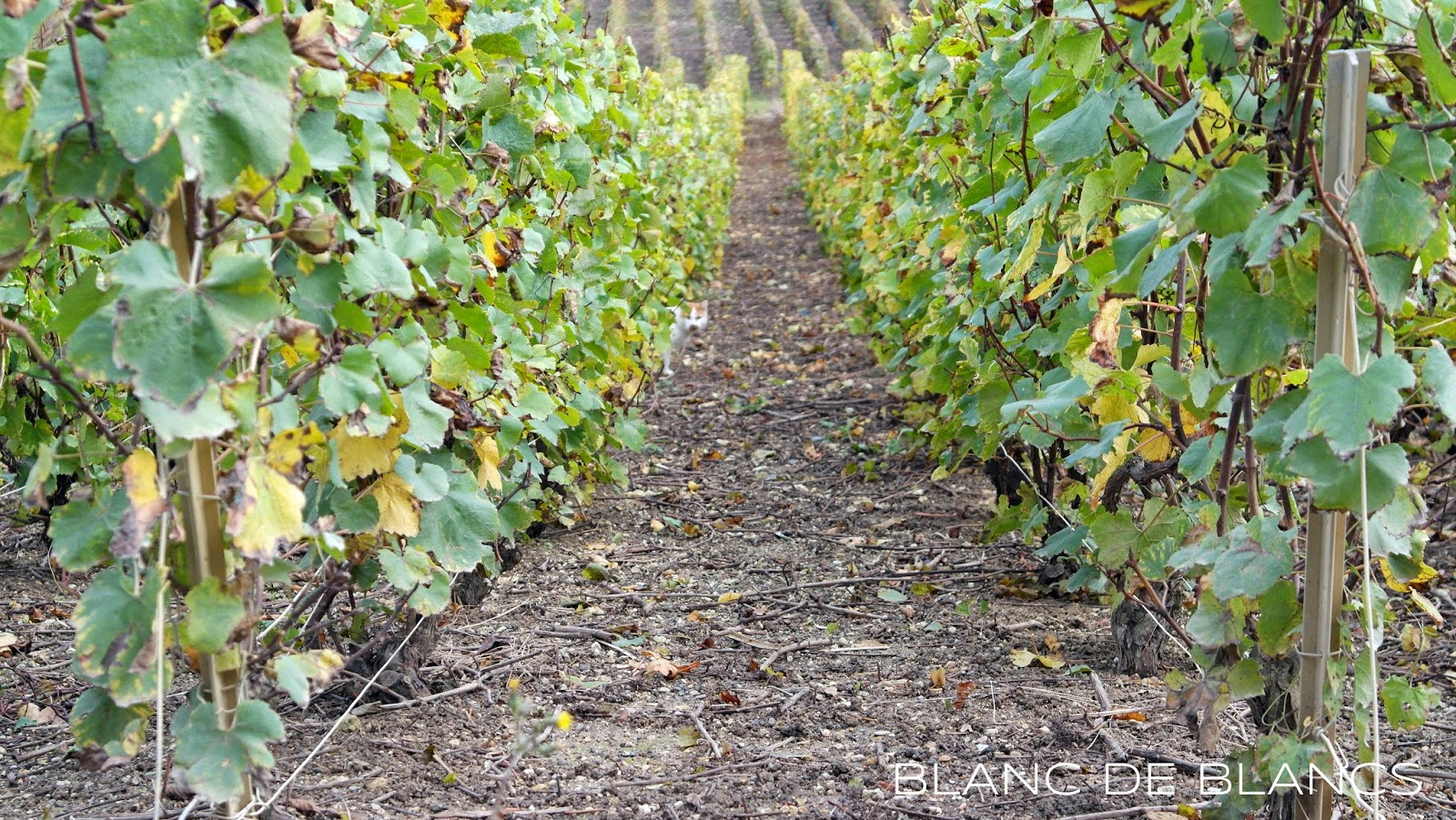 Köynnöksiä Champagnessa - www.blancdeblancs.fi