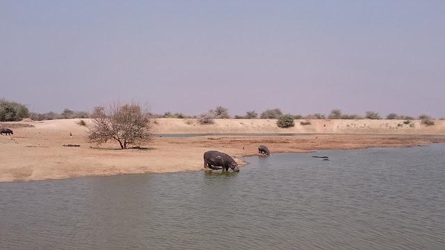 Erindi Game Lodge Hippo at watering hole