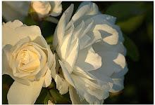 Sun kissed roses ... ♥