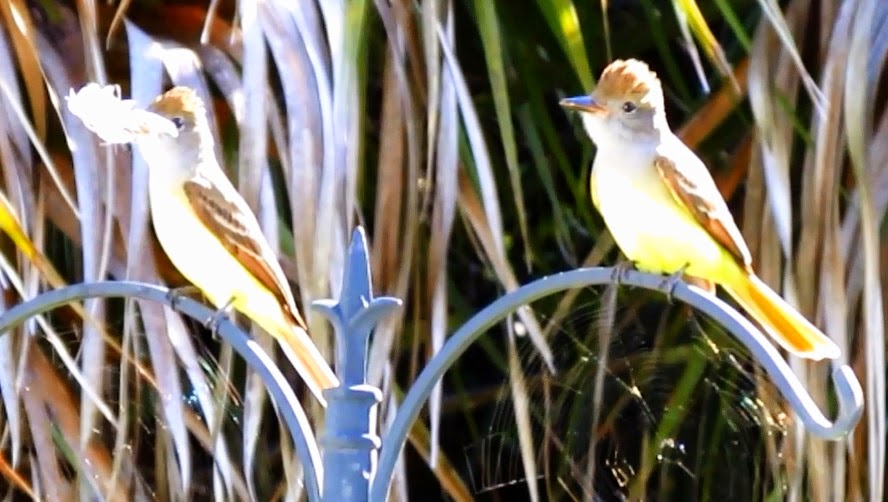 Great Crested Flycatcher Good Morning Call !