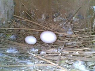 Telur Putih Besar / Normal  - ciri ciri telur burung merpati akan menetas