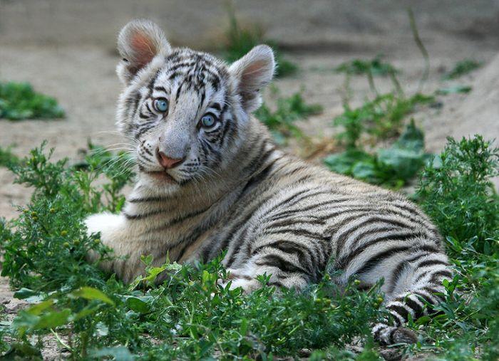Felinos Fotos Especiais ~ Links da WEB Cute Siberian Tiger Cubs