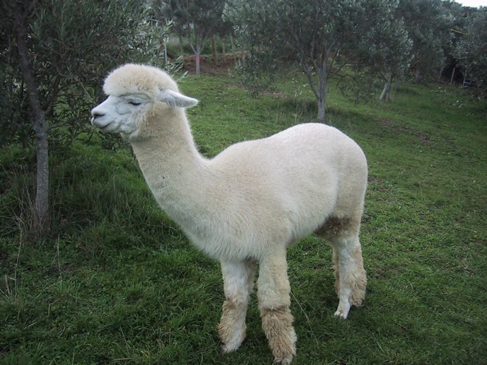 24+ Harga hewan alpaca terbaru