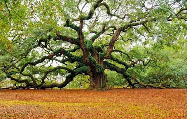 400 year old tree Angel Oak in South Carolina