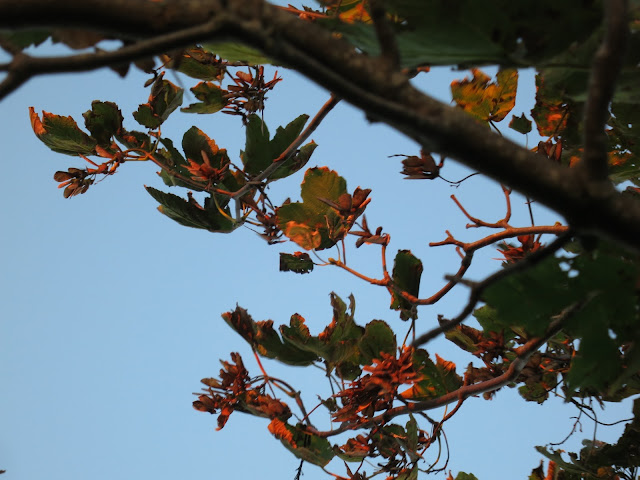 Sycamore leaves and branches in evening light.