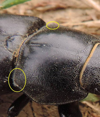 Lucanus cervus (Ciervo volante hembra )