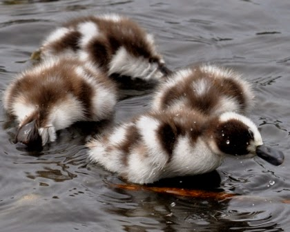 shelduck chicks