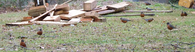 robins in back yard