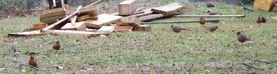 robins in back yard