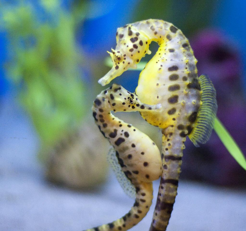 Artwork by KimiCookie: Mermaids and seahorses.