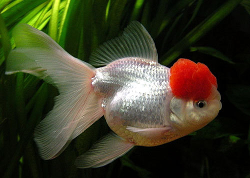 Vida marina imagenes de peces exoticos for Peces de agua fria koi