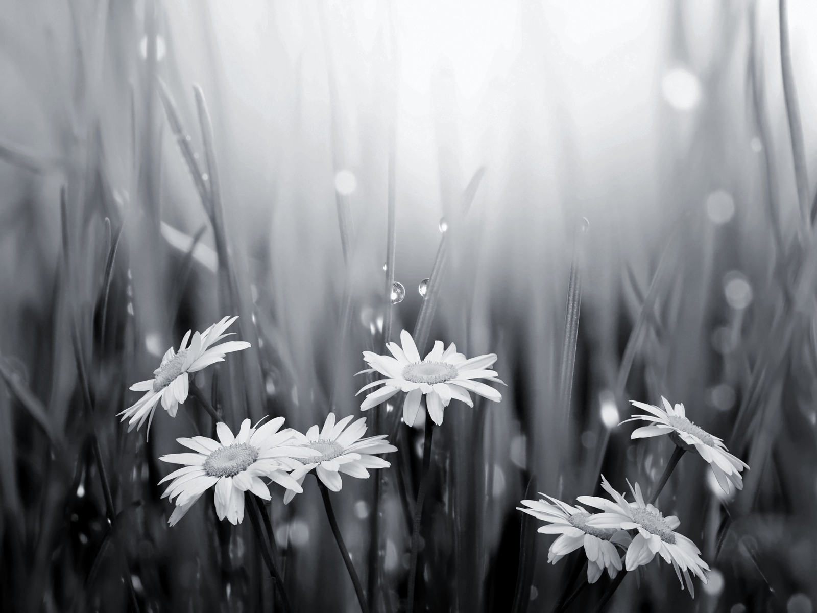 black and white daisies and raindrops wallpaper happy