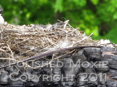 Close up picture of a robin's nest with the head of a baby robin sticking out