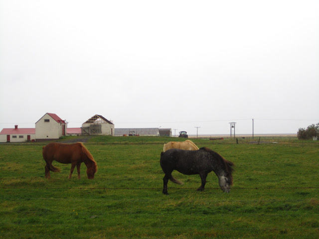 Icelandic horses in a field.