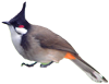 bulbul