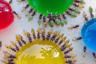 hormigas tomando agua dulce