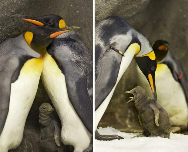 Casal de pinguins-imperadores machos em zoológico dinamarquês cuidam de filhote nascido há um mês (Foto: Divulgação/Ard Joungsma/Zoológico Odense)