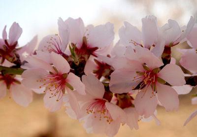 Flores de almendro en primavera - La belleza de las flores