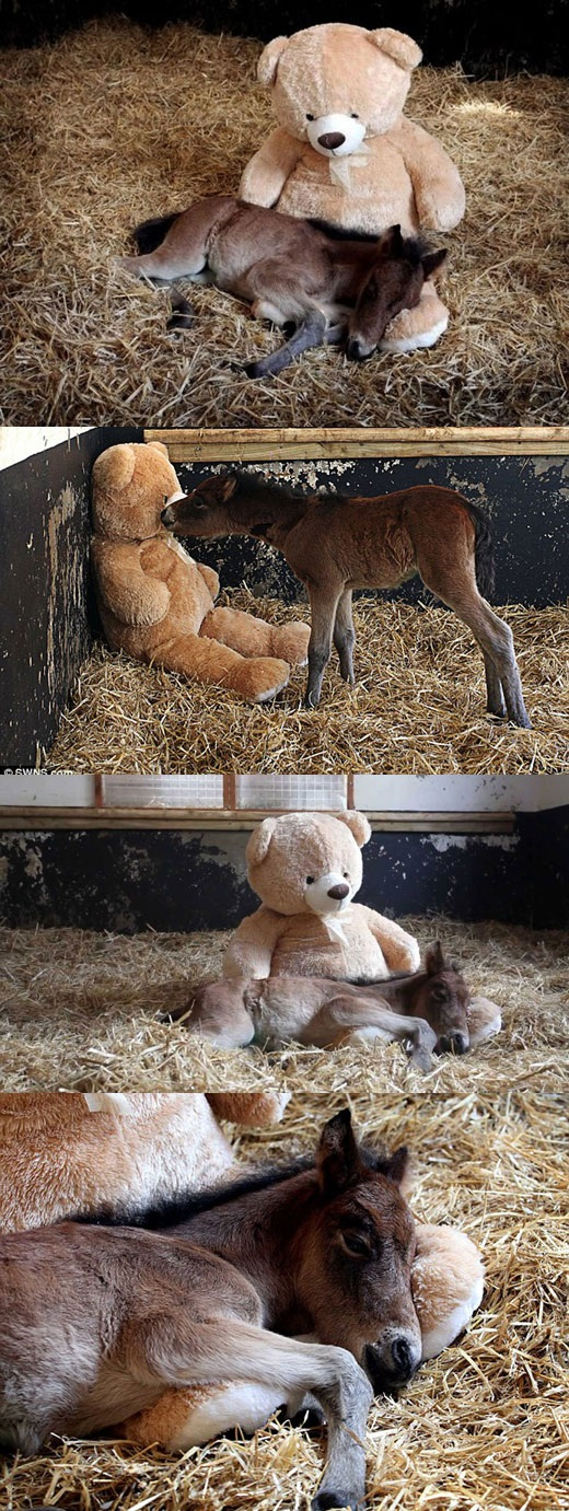 Orphaned pony foal becomes best friend with a teddy bear