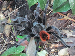 Friendly Tarantulas