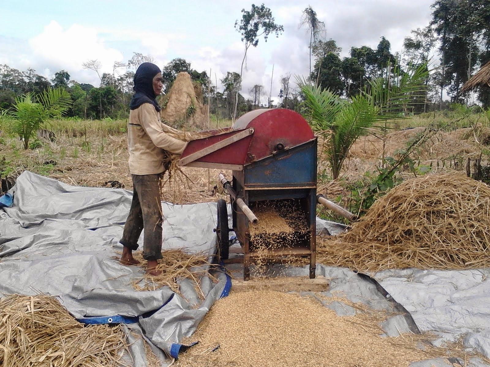 Panen menggunakan mesin perontok padi di desa Saing Prupuk