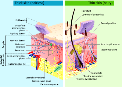 Structure and layers of skin