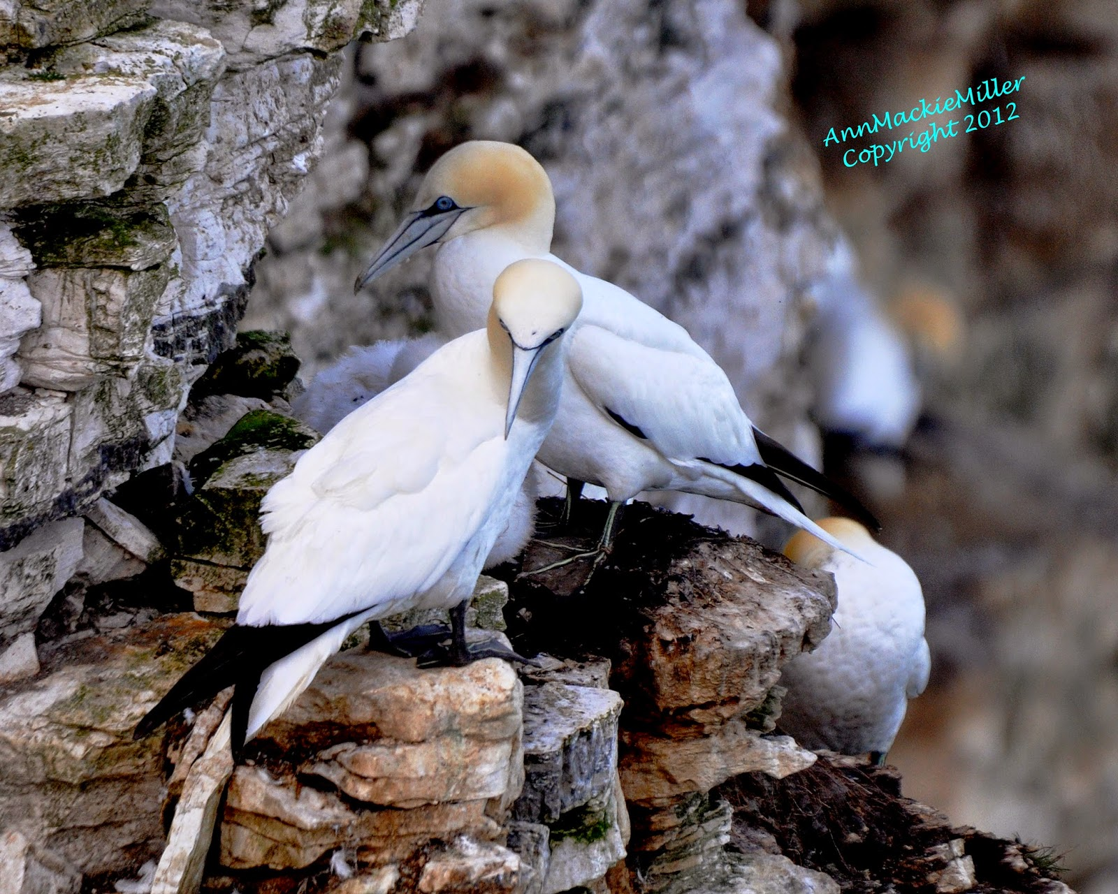 adult gannets RSPB Bempton Cliffs
